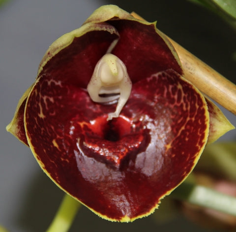 Catasetum Orchidglade 'Jack of Diamonds' AM/AOS