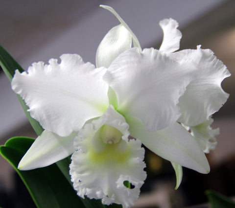 Cattleya White Reception 'NN'