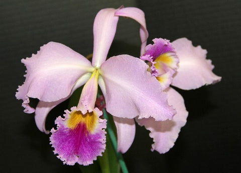 Cattleya gaskelliana  by sib