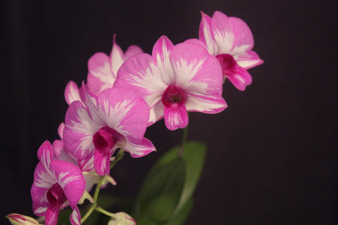Dendrobium Clown Feathers 'Clown Alley'
