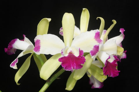 Lc. Mae Bly 'Ching Hwa Splash''
