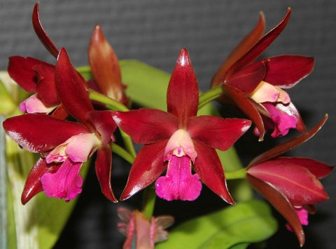 Lc. Sagarik Wax 'Red Flower Ball' HCC/AOS