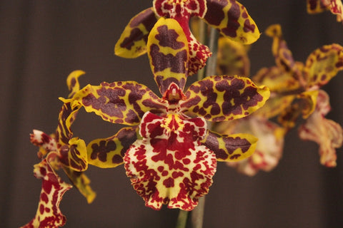 Odontocidium (Colmanara)  Wildcat 'Green Valley D' 'Rainbow' 'Red  Stars' 'Pacific Sunset'