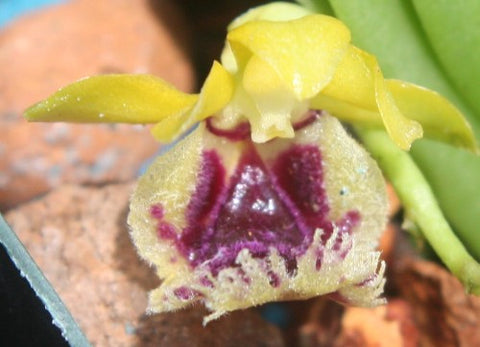 Gastrochilus retrocalla (Haraella retrocalla)