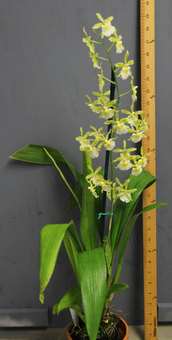 Oncidium Irish Mist 'Winter Green'