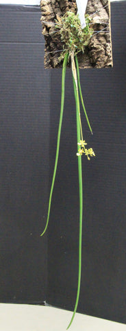 Oncidium cebolleta (trichocentrum cebolleta)