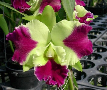 Blc. Kat Red Panda 'Dragon Cat'