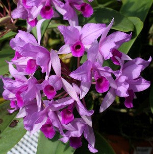 Cattleya deckeri  by self (Guarianthe deckeri)