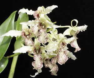 Dendrobium Joyce Kelly (spectabile x johnsoniae)