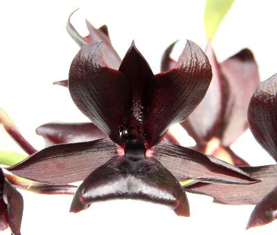 Monnierara Millenium Magic 'Witchcraft' FCC/AOS