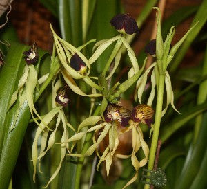 Prosthechea (Encyclia) cochleata The cockleshell orchid