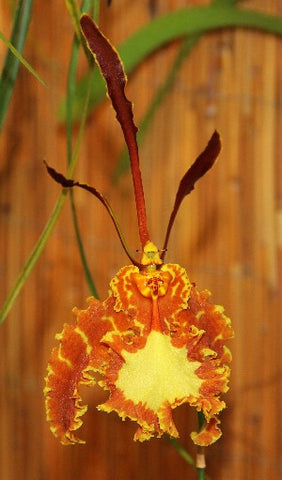 Oncidium (Psychopsis)  Mariposa 'Green Valley'