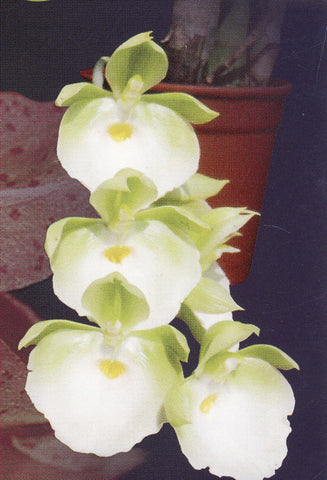Catasetum pileatum 'Jumbo Green Gold'