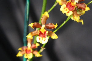 Odontocidium	MacKenzie Mountain 'Jan's Gem' HCC/AOS