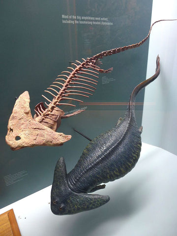 Diplocaulus skeleton and model from the Denver Museum of Natural History. Available under CC BY SA 4.0 from user Camelops.