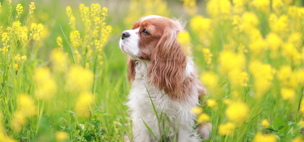 White and Brown King Charles Spaniel Outdoors in a Field of Yellow Flowers.