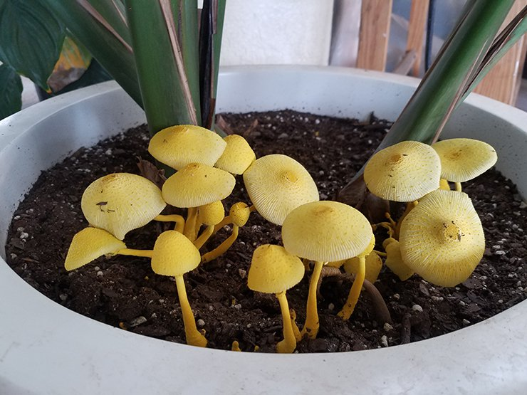 Mushrooms growing out of a small plant in a pot