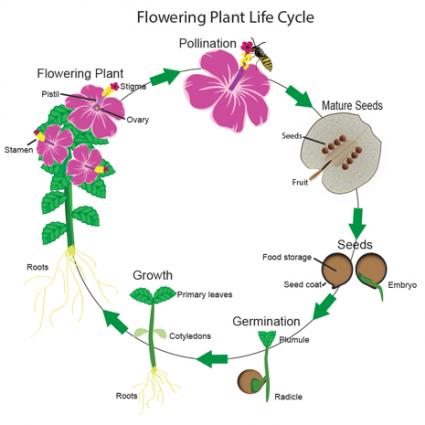 The plant life cycle shows the flowering cycle as the cycle before fruiting.