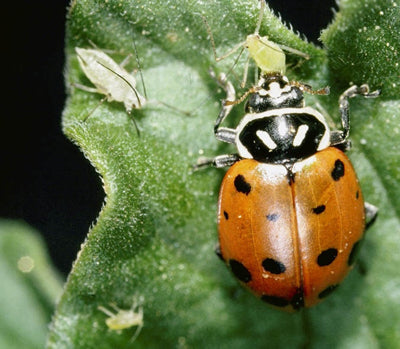 Ladybugs are perfect for eating pests, especially during the flowering cycle of growth.