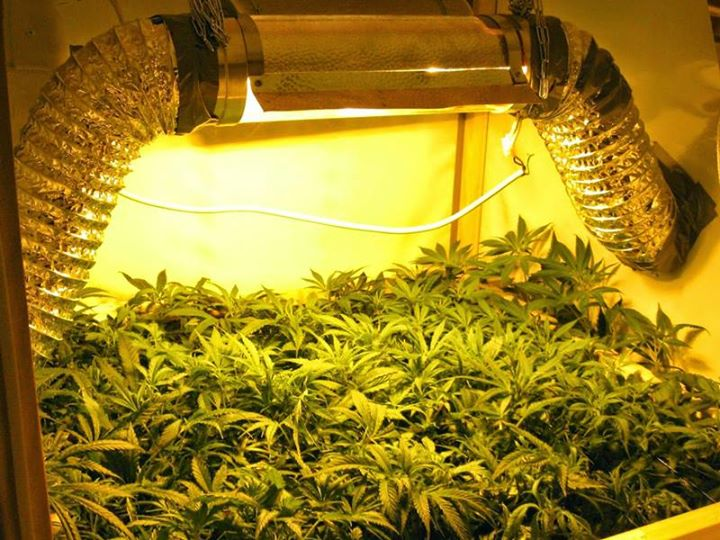 Air Cooled reflector hanging above plants in an indoor grow room