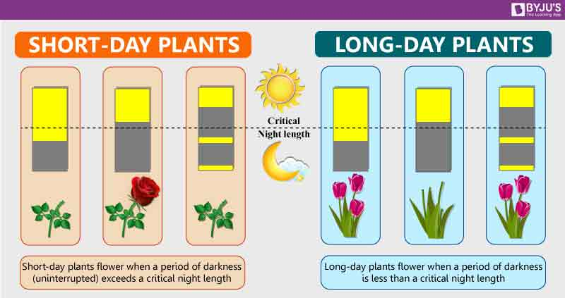 Illustration of short vs long day plants growing stages
