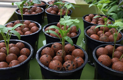 Newly transplanted clones inside of a hydroponic clay pebble system.