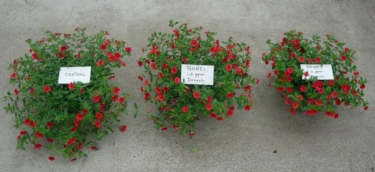 Plant with hormones and one without