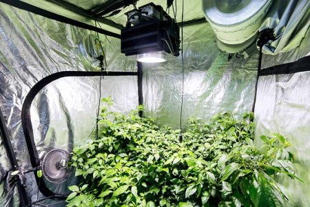 Bushy tree plants in an indoor grow tent with LED grow lights and high output fans.