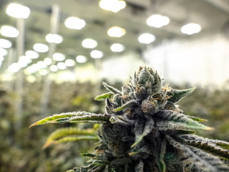 This is an indoor cannabis growing operation.