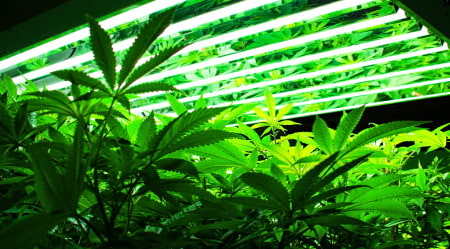 This is cannabis growing under a light in a grow room.