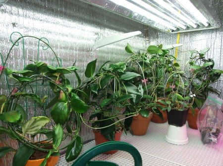 A grow room with multiple large plants T5 grow lights.