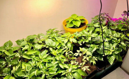 Grow room with healthy pepper plants.