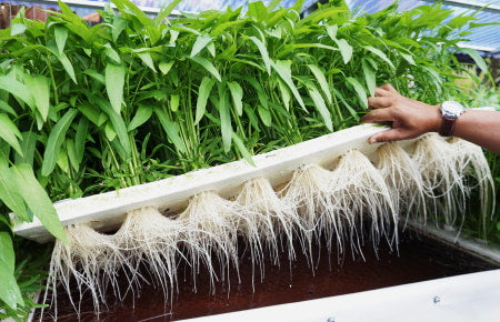 Hydroponic system showing root growth.