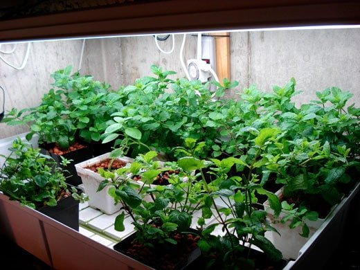 Many small plants in a flower bed under a T5 grow light