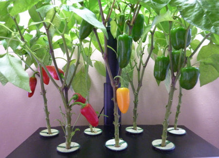 Spicy peppers growing in hydroponic system.