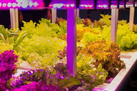 LED grow lights used in indoor lettuce growing operation.