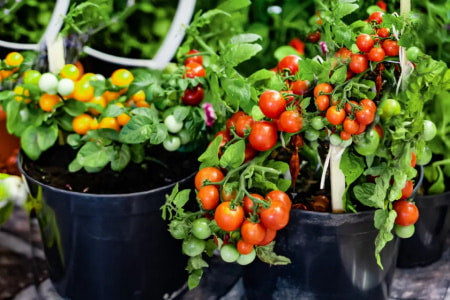 Potted tomato plants in a container garden.