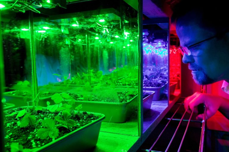 Plants in a grow room overexposed to UV rays