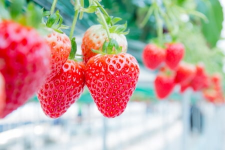 Grow Room with Ripe Strawberries
