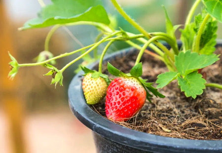 Strawberry plant growing in a plastic grow pot container.