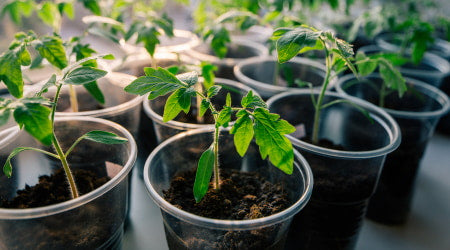 Indoor container gardening with tomato plants.