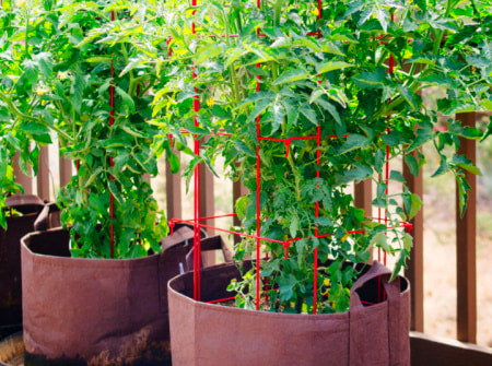Tomato plants growing out of fabric prune pots in a container garden.
