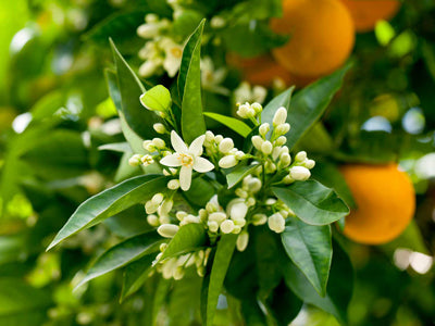 Orange trees flowering and growing fruit in the process.