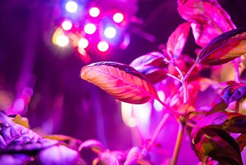 This illustrates a UV Light Over Seedlings and clones