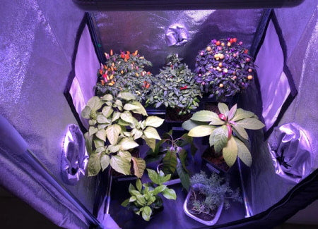 Grow tent with vegetable, tomato, and pepper plants.