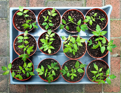 Transplanting clones and seedlings into their forever pots.