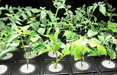 Growing plants indoors starting with clones and clippings.