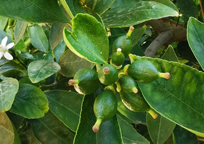 Fruit growing during the 5th and 6th week of the flowering stage of plant growth.