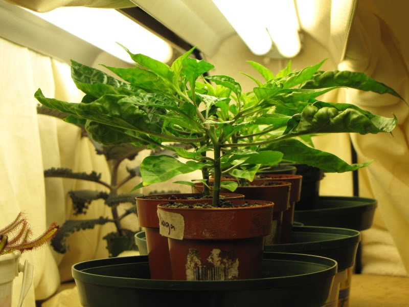 Example of a T5 grow light 5-10 inches above plants
