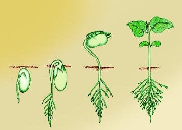Illustration of seed growth phases